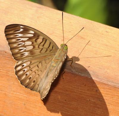 Baron (Euthalia aconthea)