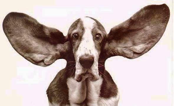 perro-oído