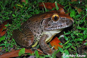 Giant Barred Frog