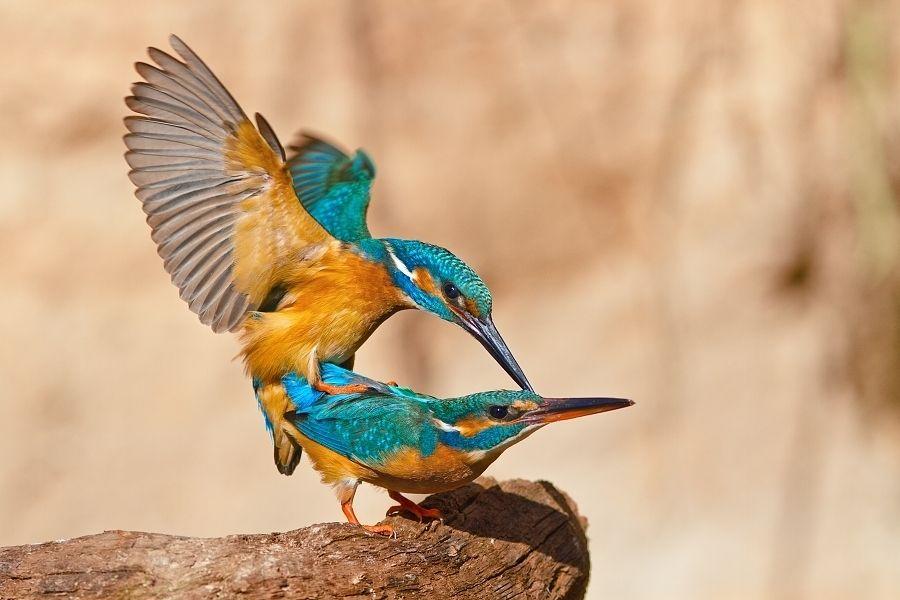 5. Kingfisher Love