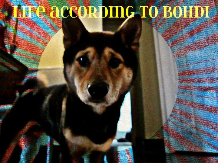I am Bohdi Bear the Shiba Inu