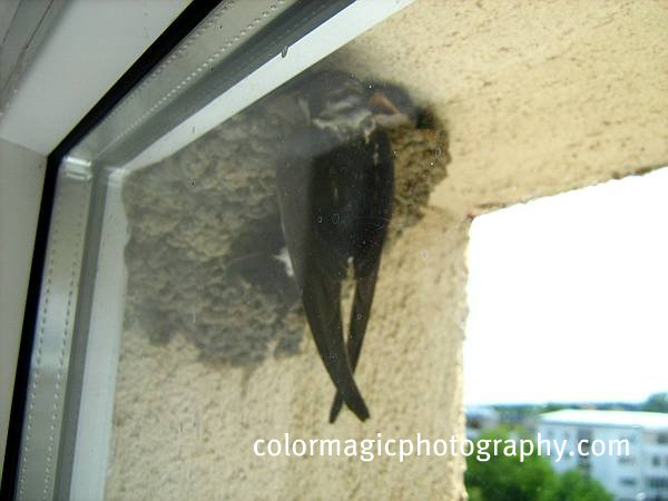 House Martin bird feeding the chicks