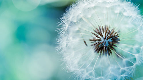 Wallpaper Bunga Dandelion