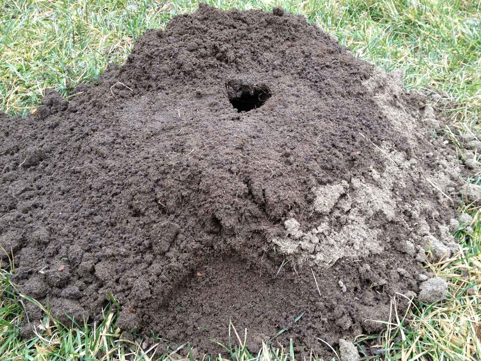 How to get rid of ground moles - It S A Pity That Most People Want To Get Rid Of Them Any Way They Can Like Beavers Moles