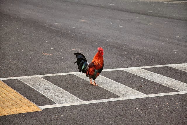 ayam kenapa menyeberang