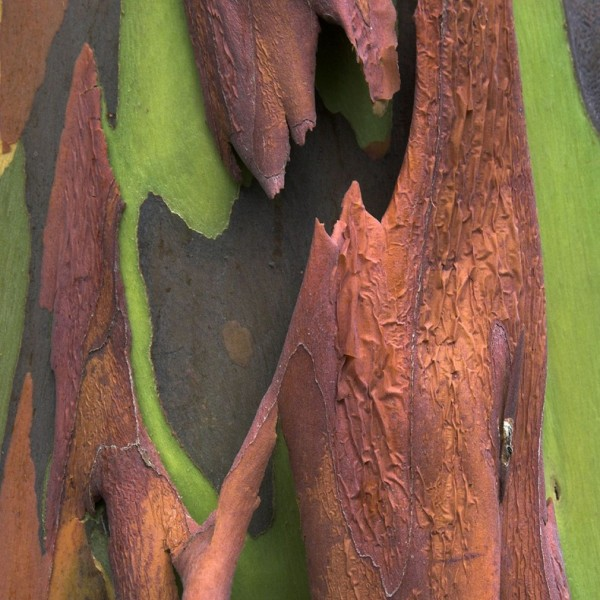 شجرة ذو الوان طبيعية مبهرة rainbow-eucalyptus-1