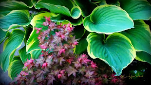 Hosta and Maple