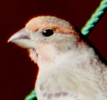 Newcomer to the backyard feeders with a tangerine-striped head and a tuft of a beard.