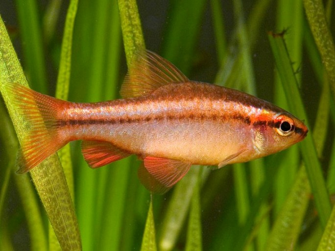 Aquarium fish cherry barb for Cherry barb fish