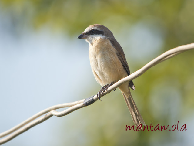 Kaeng Krachan, Brown Shrike