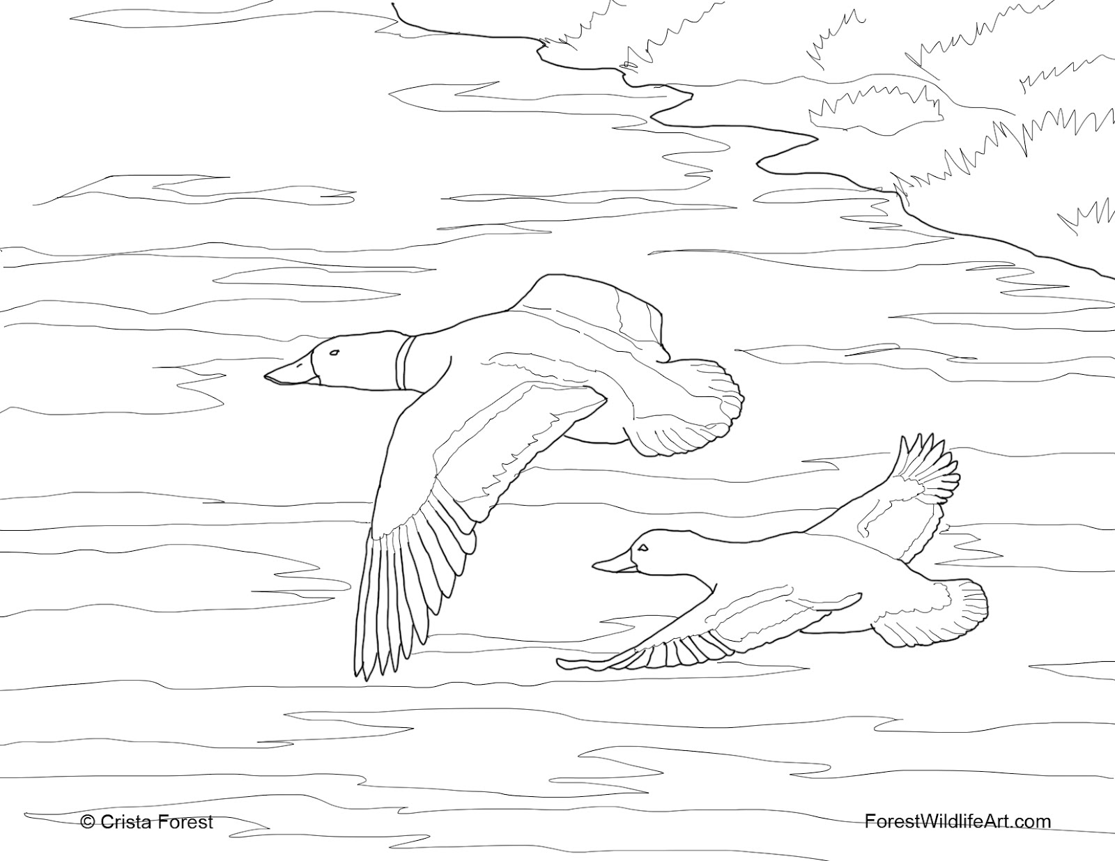 Duck hunting coloring pages for Mallard coloring page