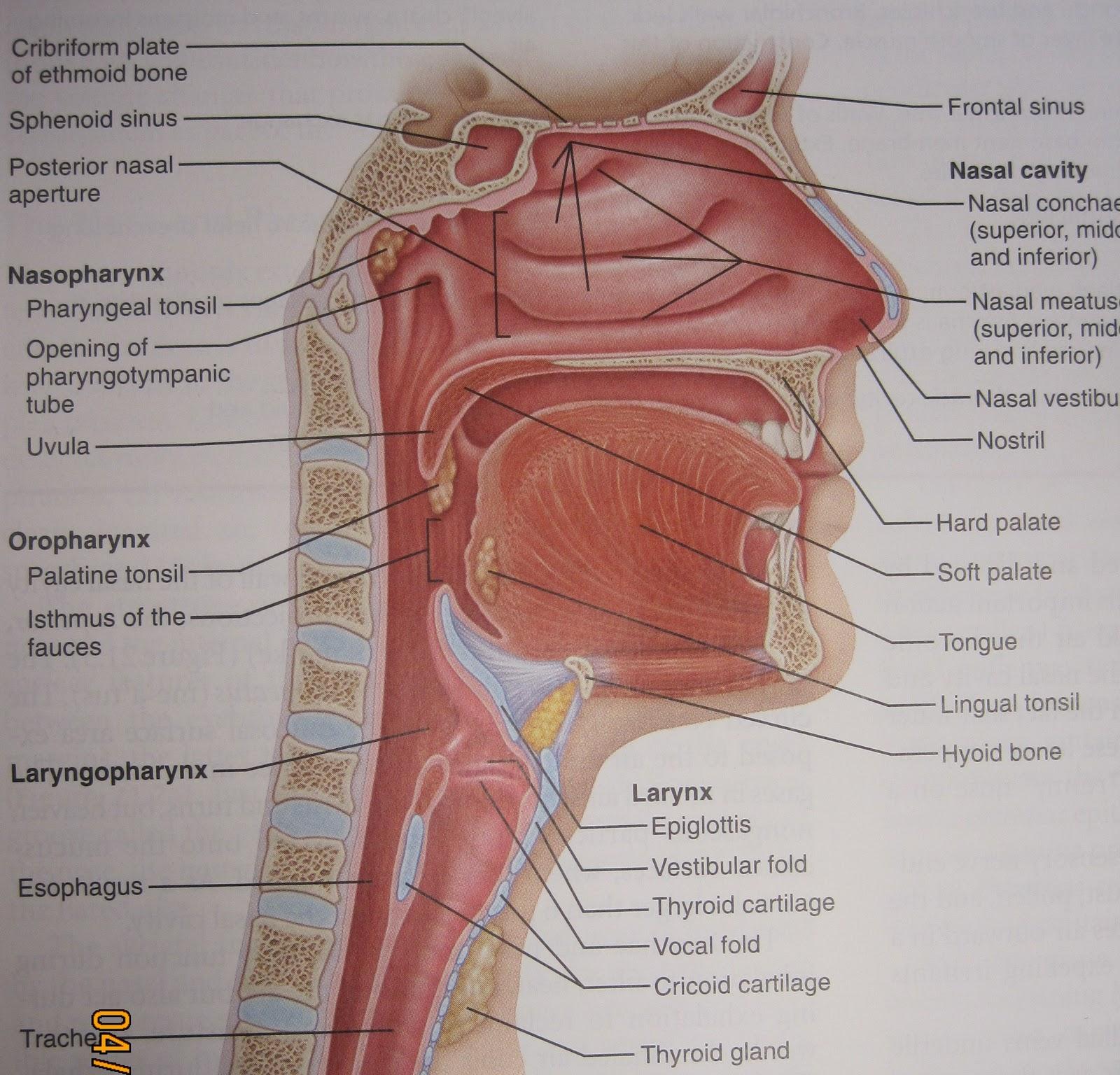 Anatomy and Physiology 2 Eportfolio: Objective 43 & 44: Respiratory ...