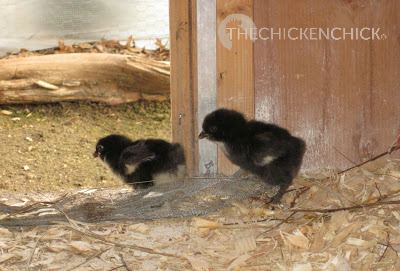 Baby chicks contemplating a winter trip out of the coop with their mother hen.