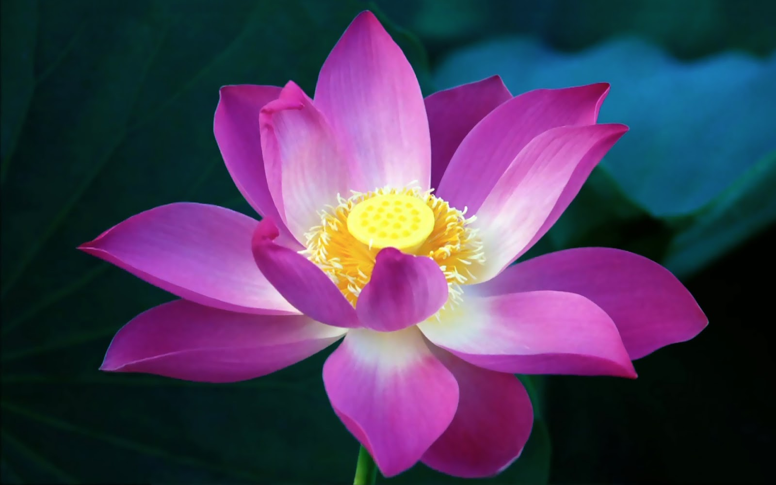 A Thing Of Beauty Is A Joy For Ever Beautiful Lotus Flower Dont