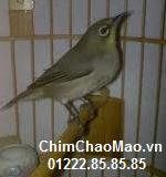 Chim Chao Mao, Chim Vanh Khuyen Xam