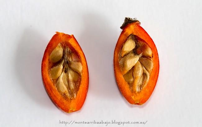 Fruto del escaramujo, cortado longitudinalmente. Se pueden ver las semillas.