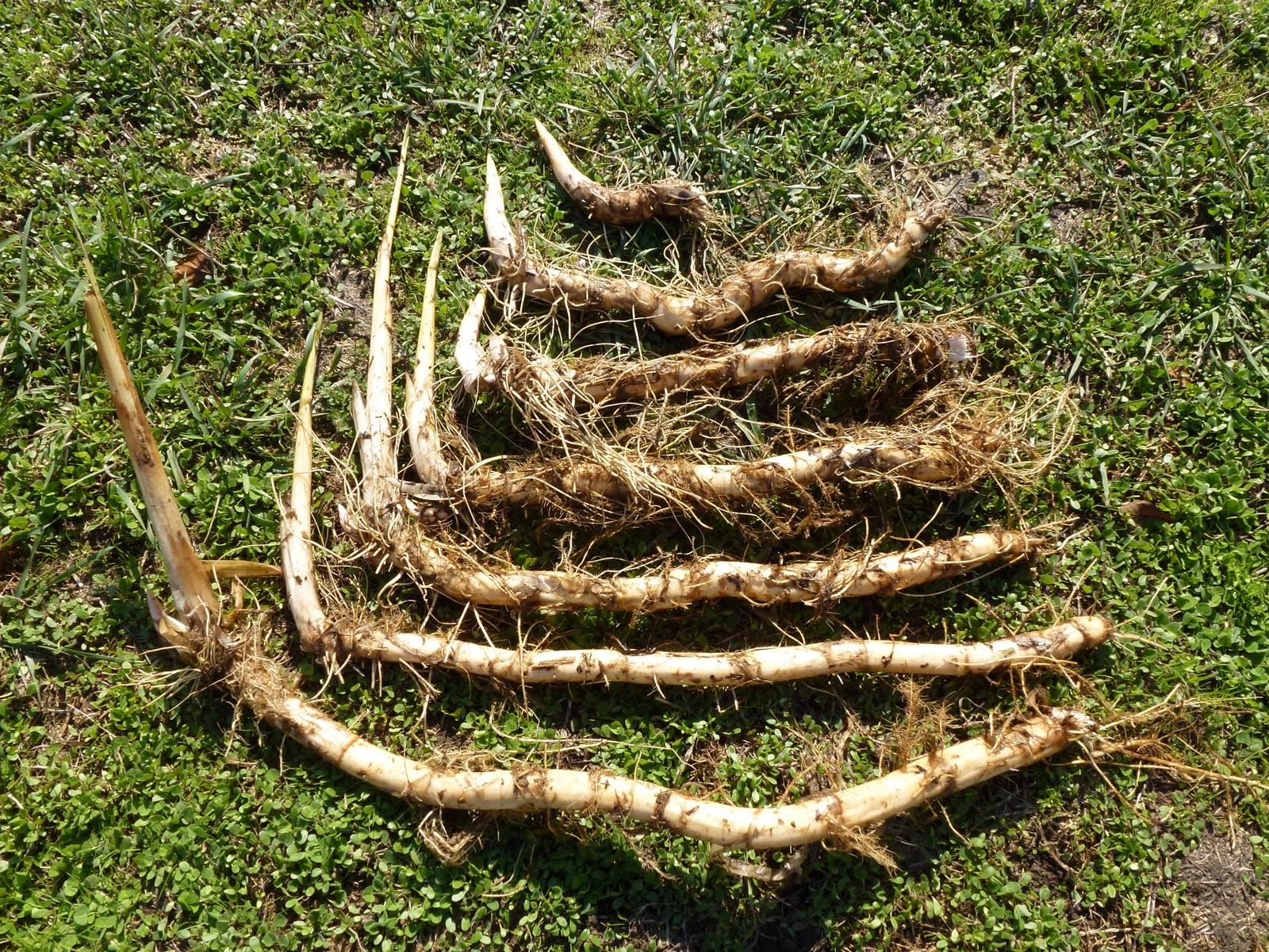 Wild Harvests Cattails