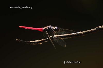 othetrum dragonfly