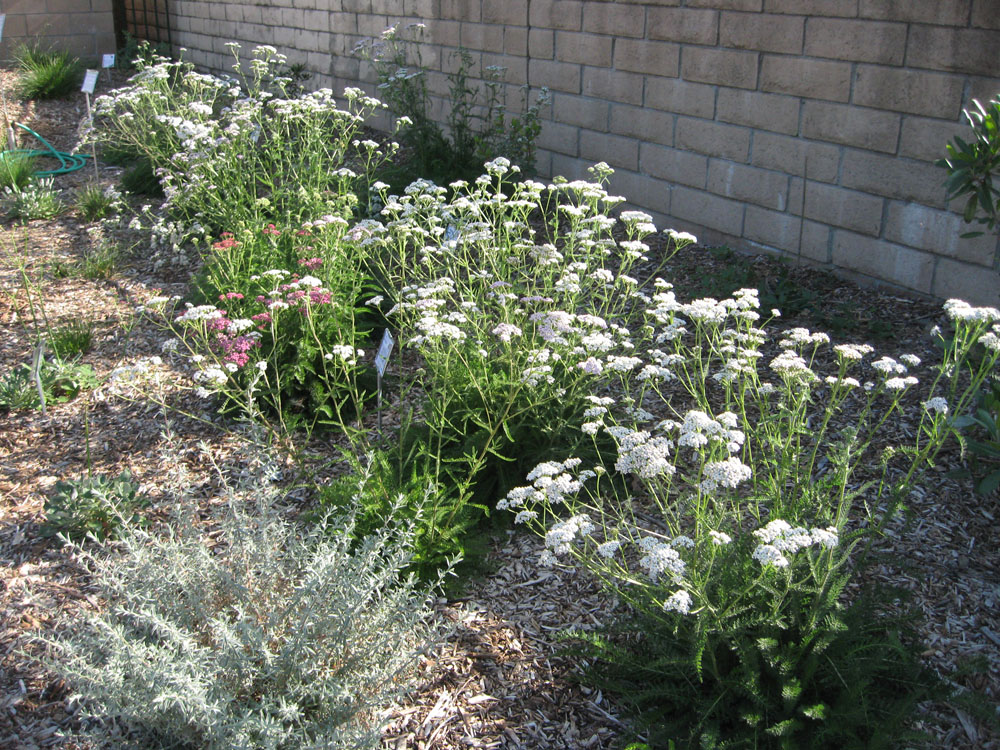 The Garden Is Glorious With Clouds Of Yarrow Blossoms This Month. Yarrow  Can Bloom Anytime From Spring To Fall In Our Area, But It Reaches Its Peak  In ...