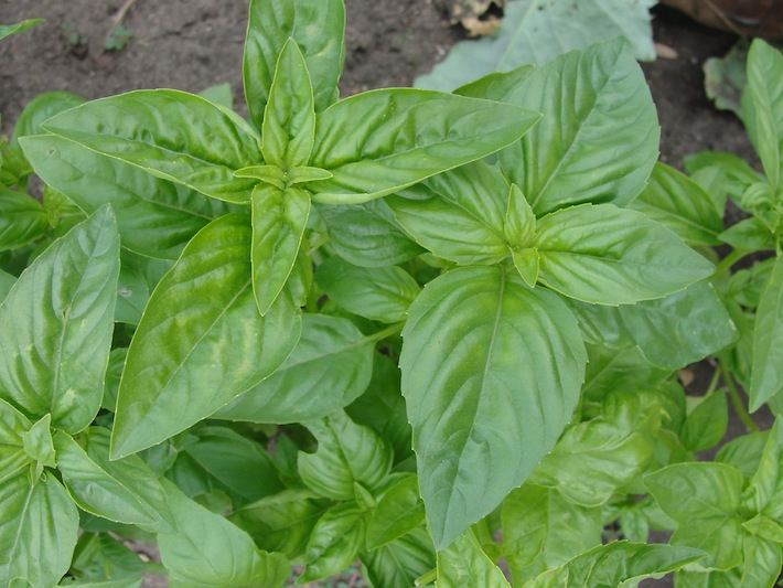 Basil leaves ready for harvest in the vegetable garden