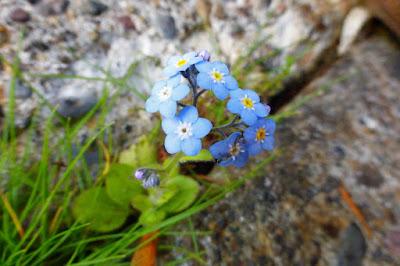 Forget Me Not, Myosotis Sylvatica, flowers growing crack in concrete sidewalk