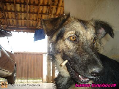 lanna bandicoot pastor alemao