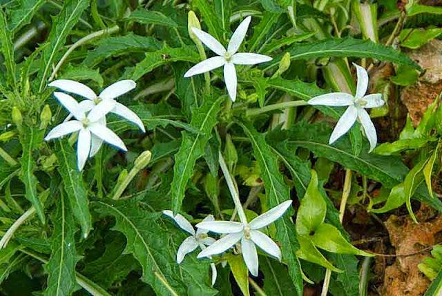 flowers, thistle, Hippobroma longiflora