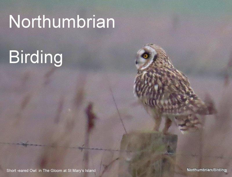 Northumbrian Birding