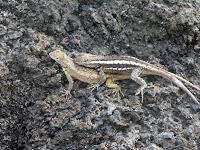 Mating Lave Lizards at Punta Pitt, San Cristobal,  Galapagos