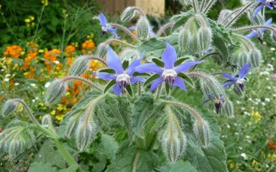 les fleurs comestibles et les plantes aromatiques de votre jardin. Black Bedroom Furniture Sets. Home Design Ideas