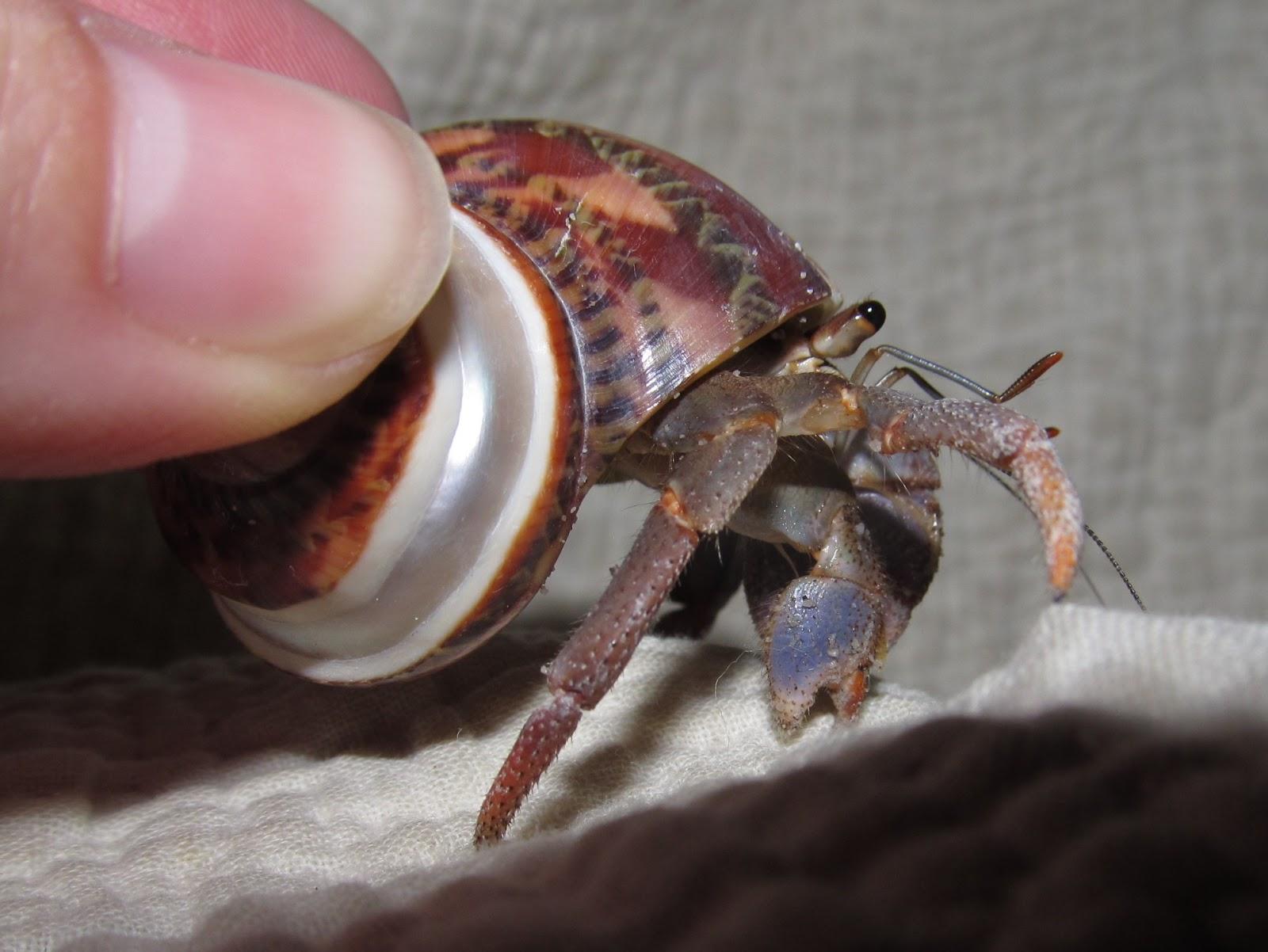 Hermit Crab Molt Hermit Crab Molting St...