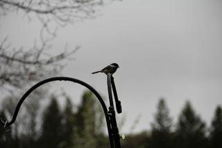 photo of chickadee in Spring rain