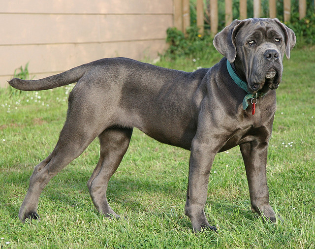 Giant english mastiff and horse image credit flickr user