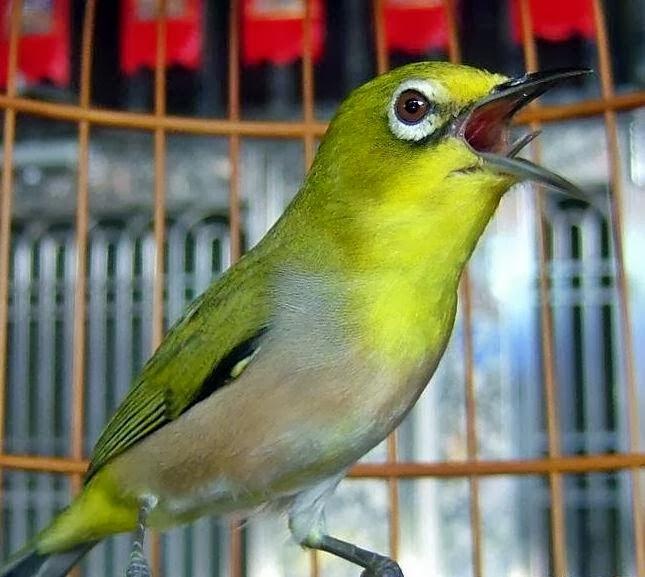 budidaya burung tips merawat burung ocehan stress