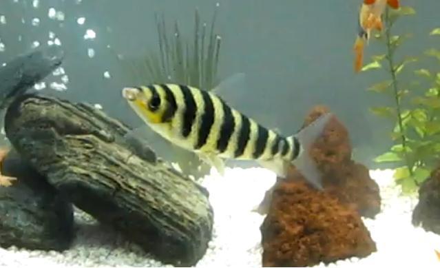 Banded Leporinus, Leporinus fasciatus, Black-Banded Leporinus Fish ...
