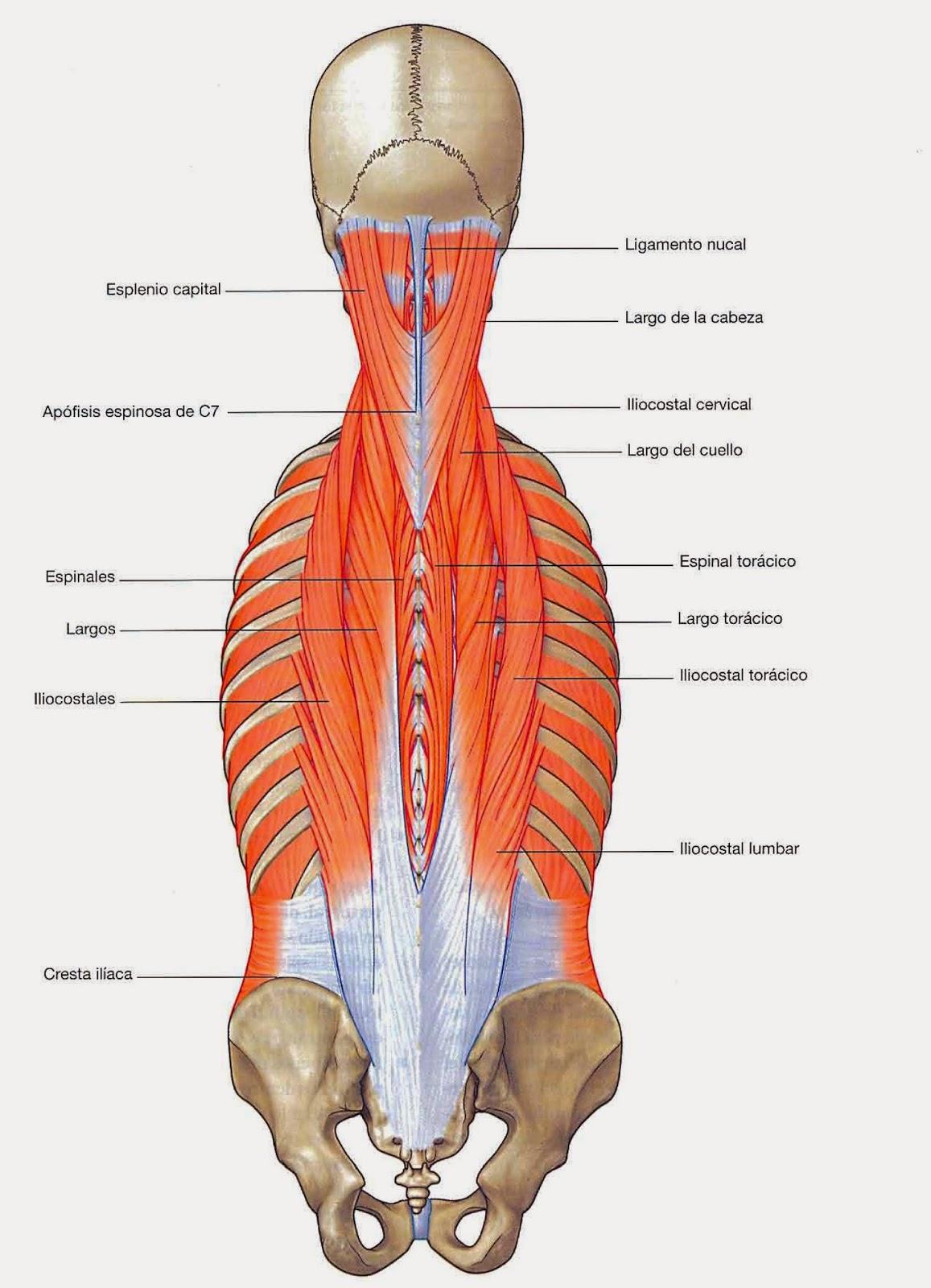 Hermosa Columna Anatomía Muscular Friso - Anatomía de Las ...