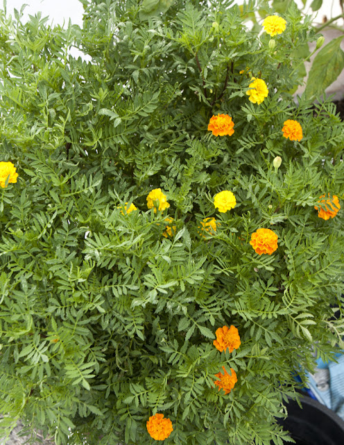 97-day-old blooming marigolds