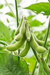 Soybean