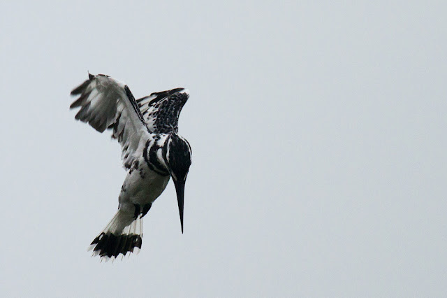A Pied Kingfisher photographed in Arugam Bay, Sri Lanka