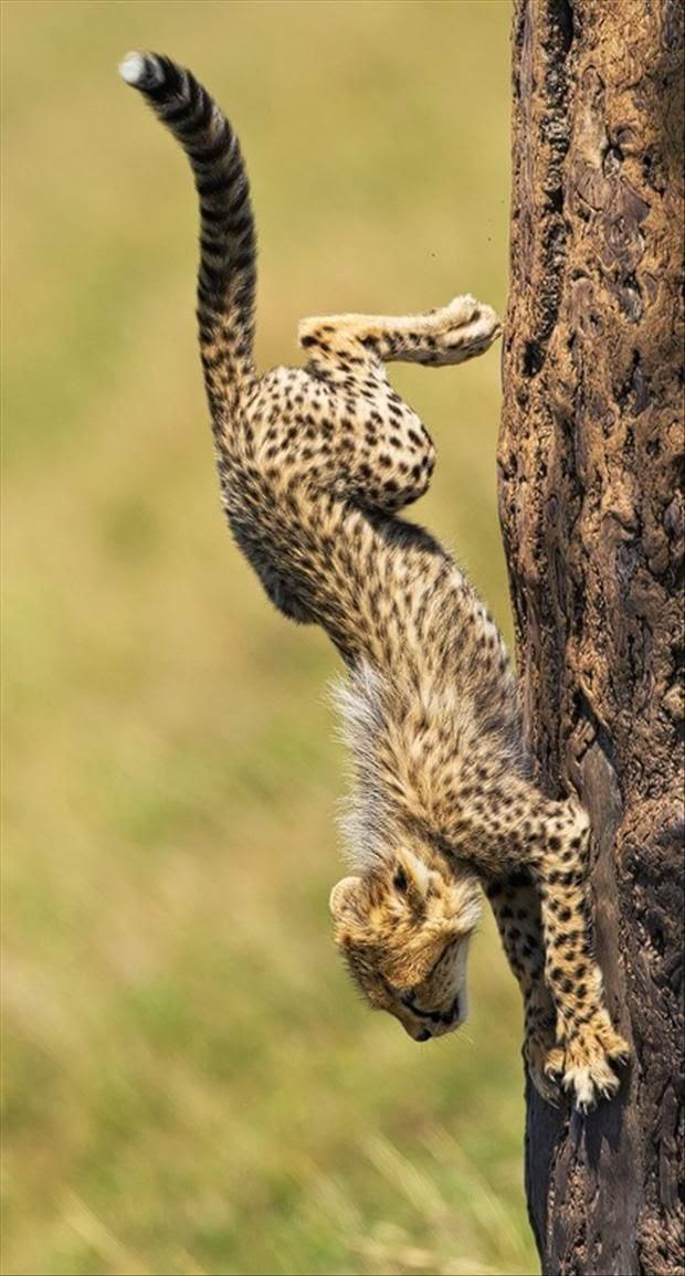 http://3.bp.blogspot.com/-ZUmxJ4Zj8zM/U07REKS5q8I/AAAAAAAABM8/rlkRgGs0po8/s1600/Cheetah+running+down+a+tree.jpg