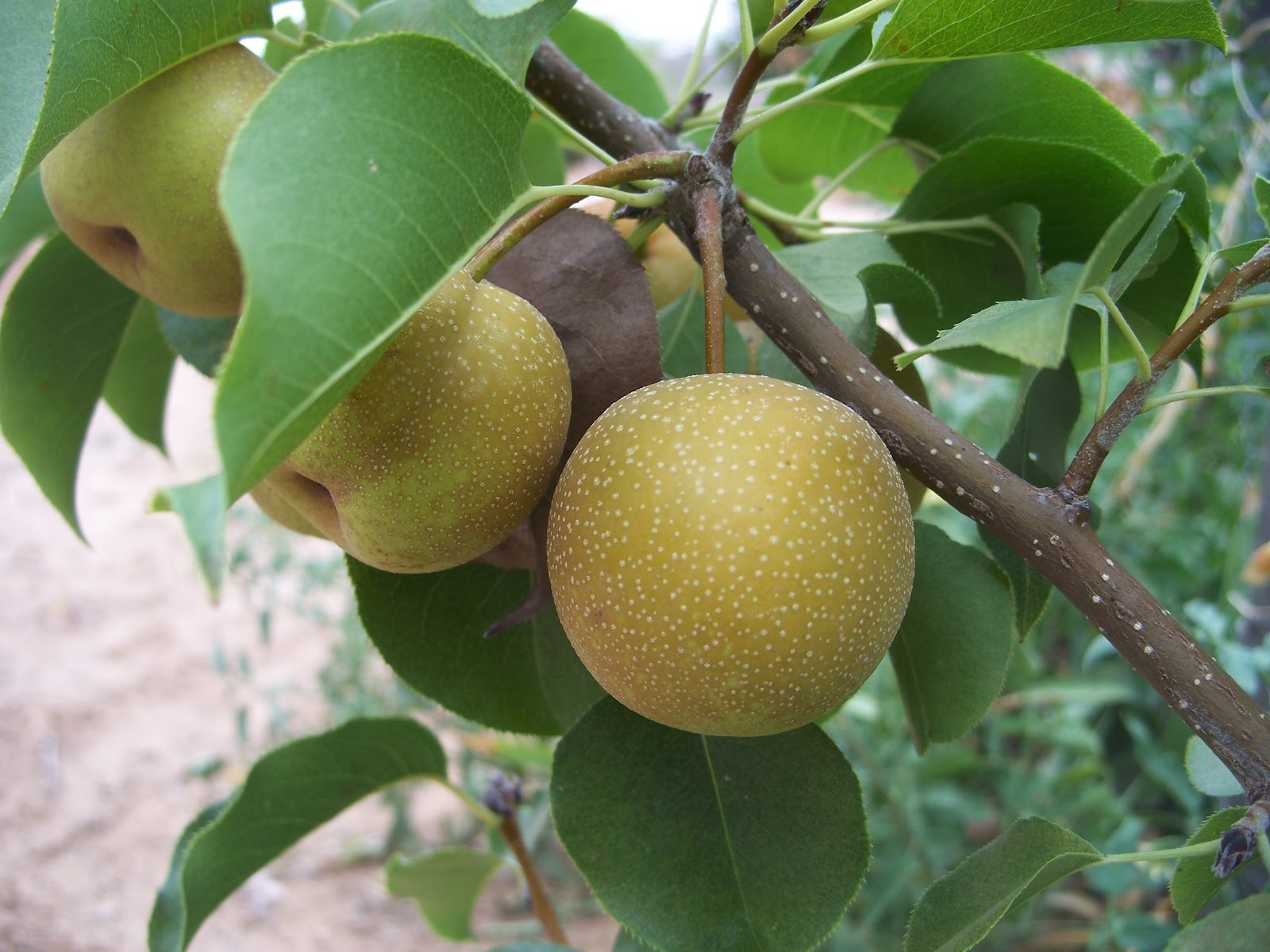 Asian pears tree
