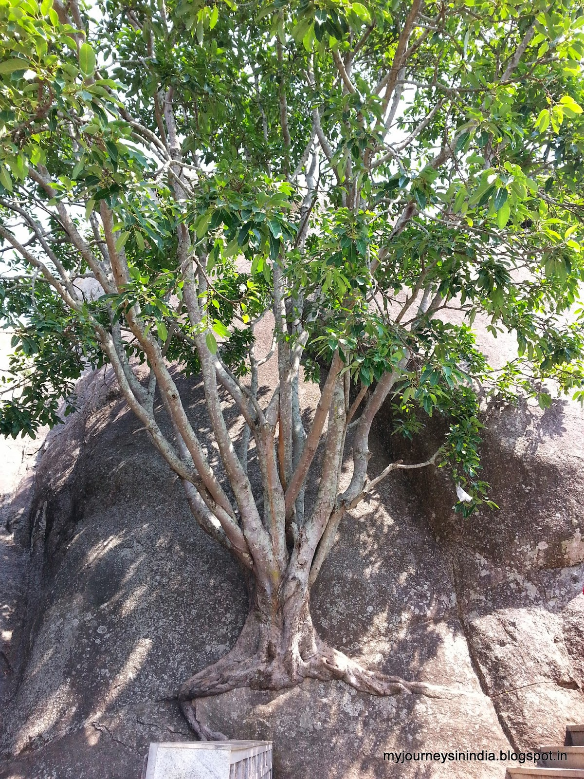 Trees growing on rocks Devarayanadurga
