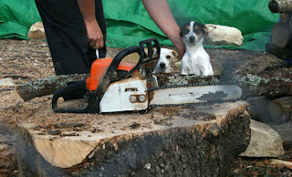 Puppies excited by the chainsaw