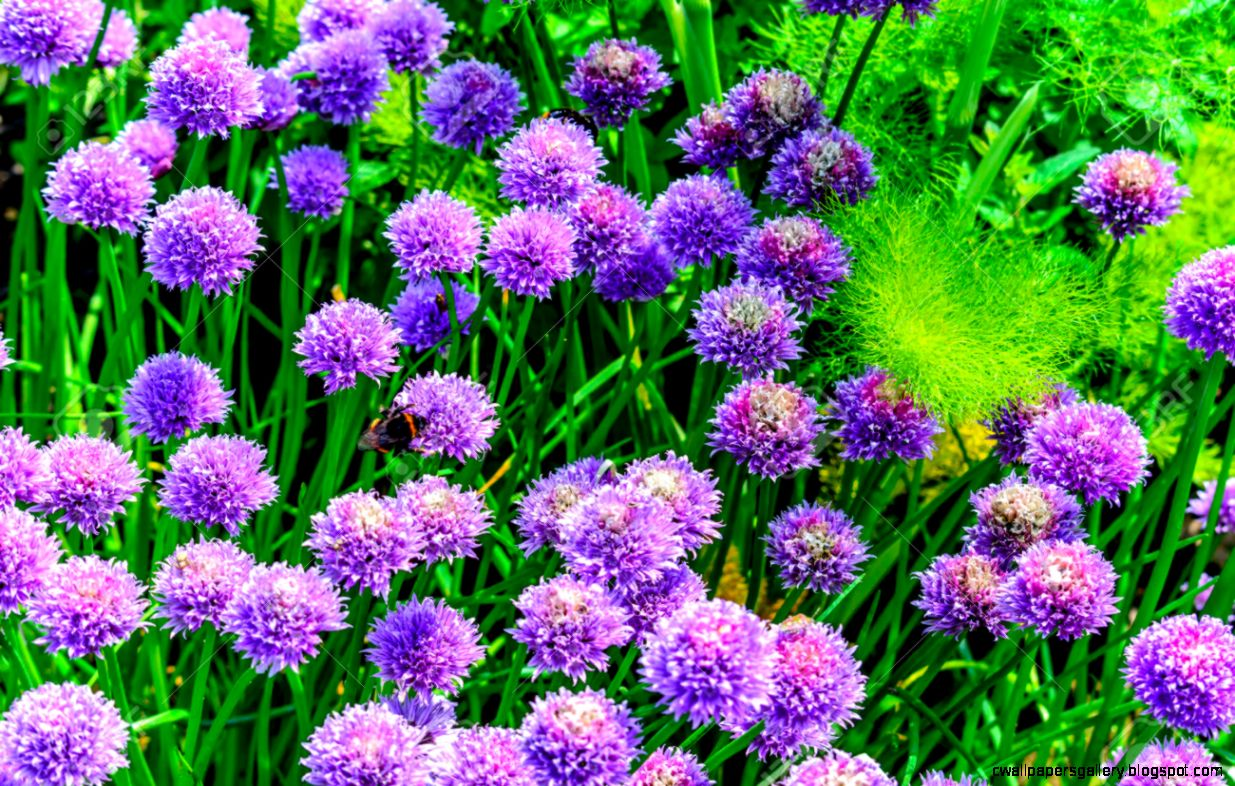 Bumble Bees On Purple Summer Flowers Stock Photo Picture And