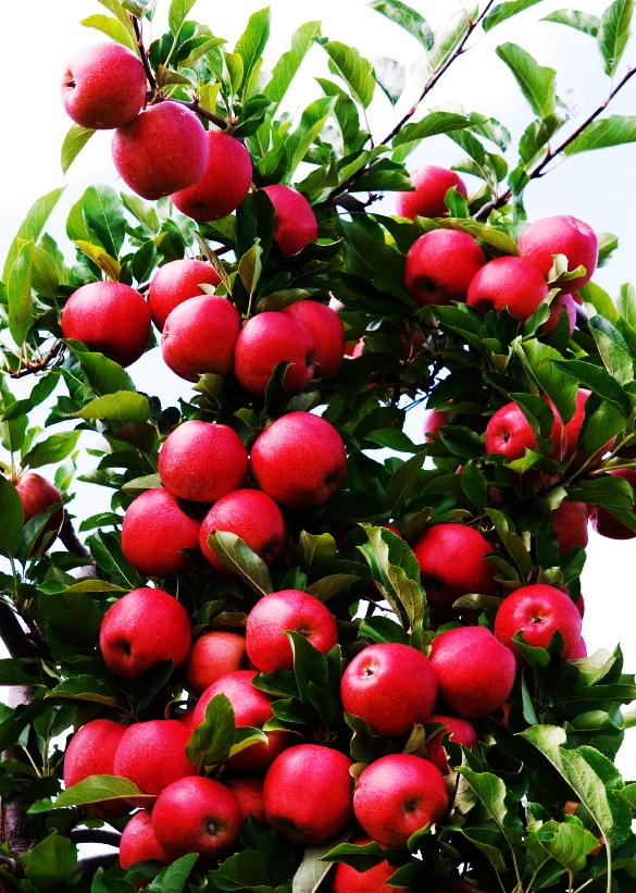 Les secrets de la taille et de la greffe des arbres fruitiers bio les portes greffes du pommier - Calendrier taille arbres fruitiers ...