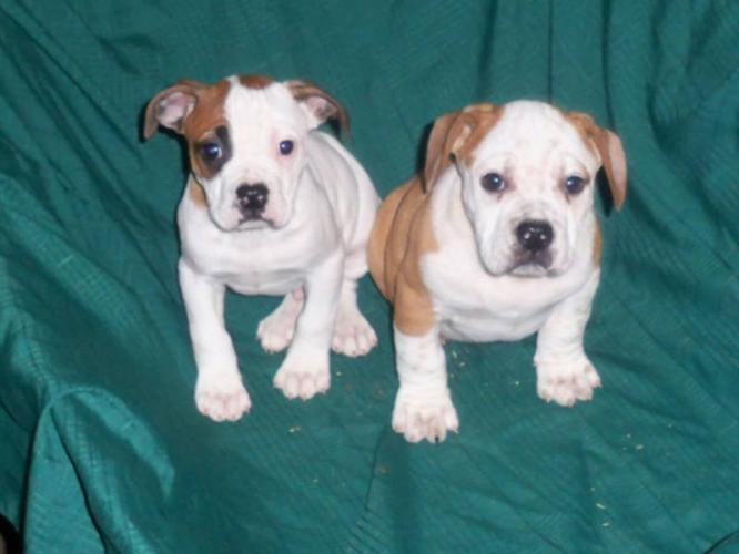 English Bulldog Beagle Mix Puppies Images & Pictures - Becuo