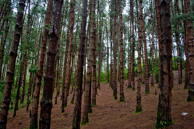 Pine Forest in Ooty