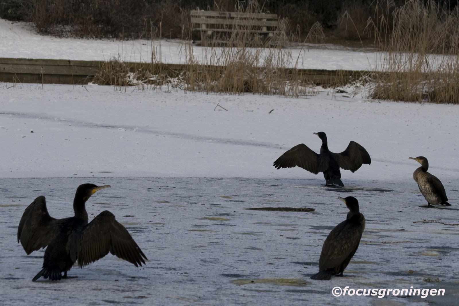 focusnatuur: Natuur Vogels Aalscholver