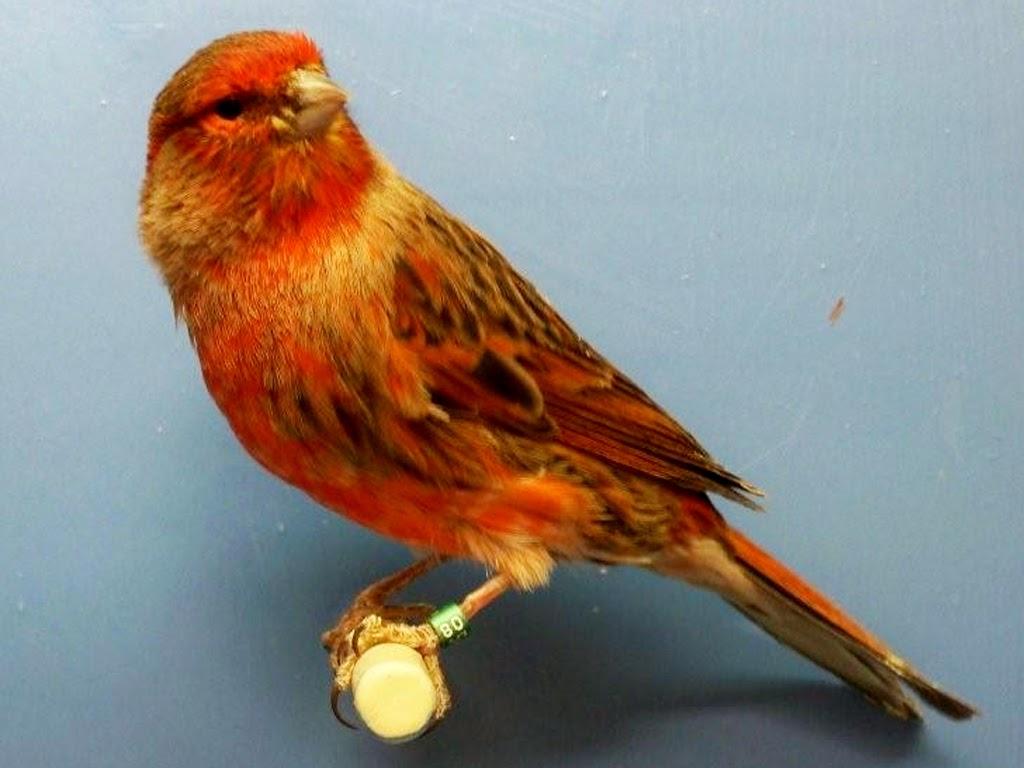 pengetahuan majalah kicau tips perawatan burung page 19