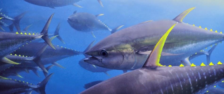 atún de aleta amarilla,